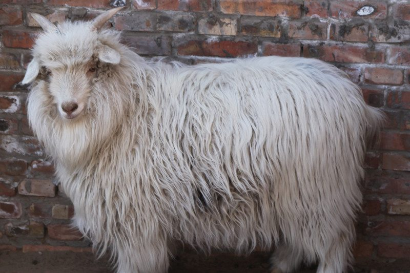 Cashmere may come from genetically altered goats soon